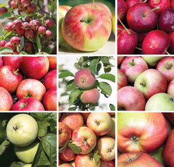 Square collage of apples of different varieties