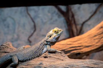 Deserrt lizard