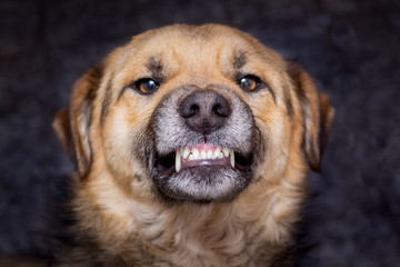 The dog shows teeth. Angry dog is ready to bite. Caution is an evil dog_