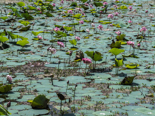 Lotus pond in shri Lanka