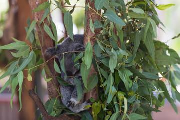 Eucalyptus mit Koala im Hintergrund
