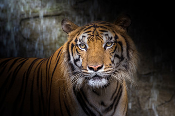 The face of Indochina tiger. Wall mural
