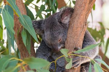 Koala mit ganz leicht geöffnetem Auge ruht im Eucalyptusbaum