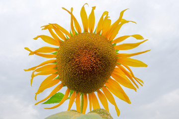 Sunflower in farm