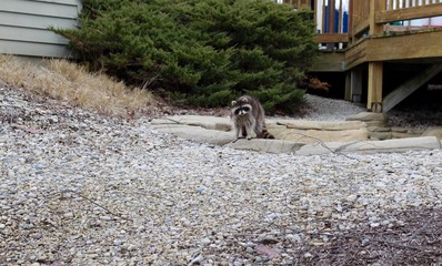 A small raccoon in the gravel area in the park.