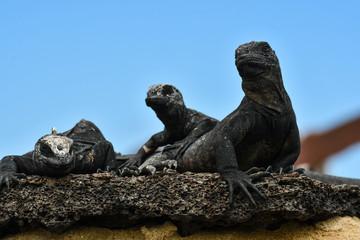 Iguana isla isabela