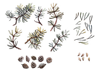 Hand drawn pine branches, needles and cone set, clip art, isolated, watercolor realistic illustration. Woodland clipart.