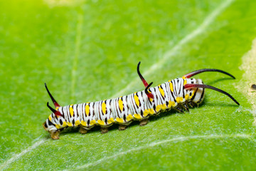 monarch butterfly caterpillar on leaf