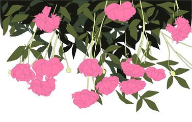 Pink peonies vector illustration flowers green leaves