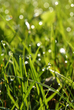 Dew drops on the sweetgrass