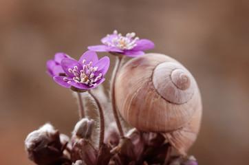 Leinwandbilder - Przylaszczka - wiosenne kwiaty