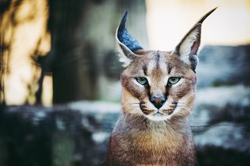 Photo sur Aluminium Lynx Portrait d'un caracal