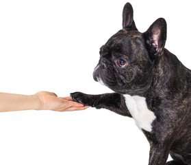 Papiers peints Bouledogue français french bulldog gives paw
