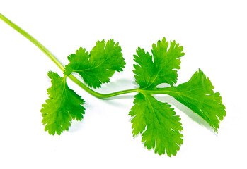 Close up of parsley