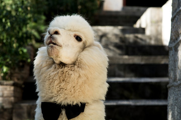Funny Chinese Alpaca , wearing a tie, in the old city of Lijiang, Yunnan, China.