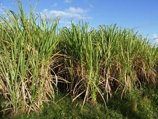 Champ de cannes à sucre en Guadeloupe. Antilles françaises