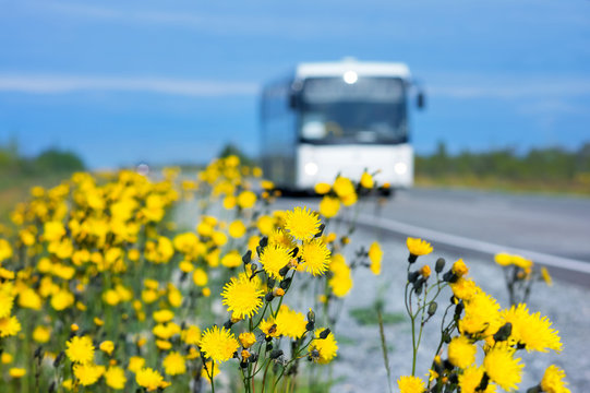 Beautiful yellow flowers on the side of the road..Dandelions blooming flowers along the road with a bus in the background