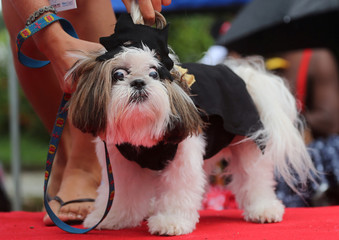 "Dog takes part in the ""Blocao"" or dog carnival parade during carnival festivities in Rio de Janeiro"