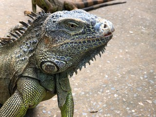 Close up of the head of an iguana in the beach