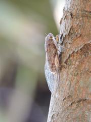 Zikade am Baum