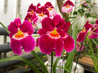 Beautyful flower: Orchids or Miltonopsis,