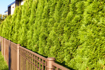 Green fence of thuja trees close-up. Hedge of home garden in backyard. Natural coniferous abstract background.