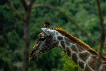 Picture of a giraffe from a side walking around