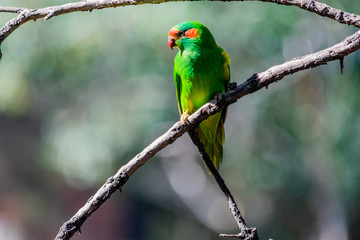 a musk parrot bird sitting on a tree branch