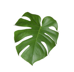 Leaf of tropical monstera plant isolated on white