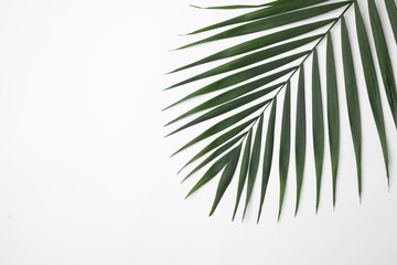 Leaf of tropical palm tree on white background, top view