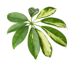 Leaf of tropical schefflera plant on white background