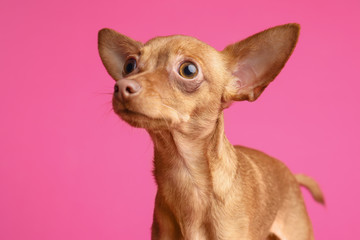 Cute toy terrier on color background. Domestic dog