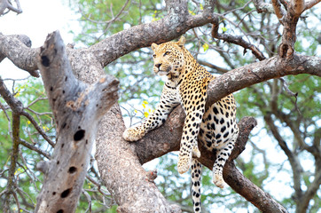 African Leopard, Panthera Pardus, resting in a tree. Big cat in Kruger National Park, South Africa