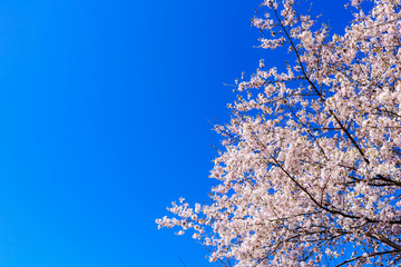 Pink Cherry Blossom against Blue Sky, Background