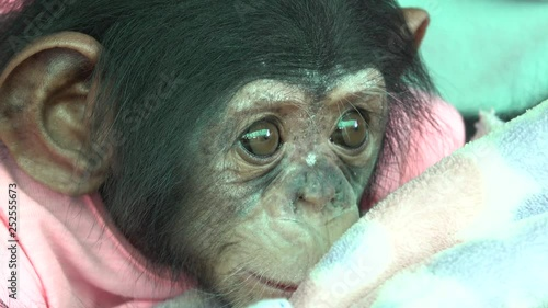 4K The eye baby portrait of a baby chimpanzee