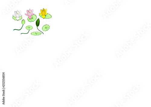 Lotus Flowers Blooming And Buds Leaves And Stalks Yellow Pink