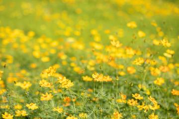 Beautiful garden yellow Cosmos bipinnatus flower (garden cosmos).