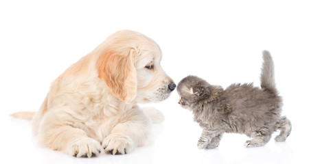 Golden retriever puppy sniffing kitten.  isolated on white background