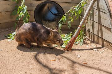 Wombat sucht nach Futter