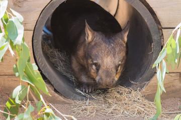 Wombat schaut aus seinem Bau