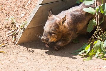 Wombat sucht Schattenplatz