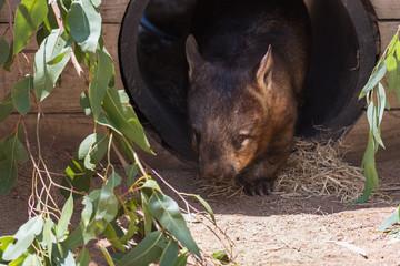 Wombat kommt aus seiner Höhle