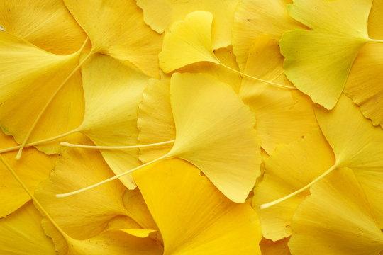 銀杏 いちょう 葉 全面 黄色 落ち葉 接写 マクロ ビビットカラー