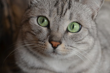 Funny gray cat with green eyes