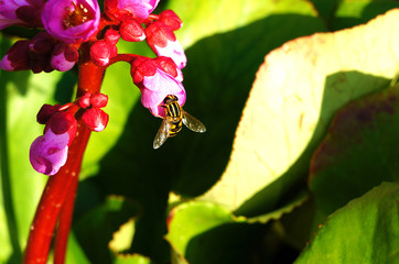 A bee sits on a pink flower on a background of green leaves. Close-up.