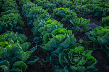 Cabbage at Dusk