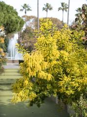 mimosas au parc Phoenix Nice
