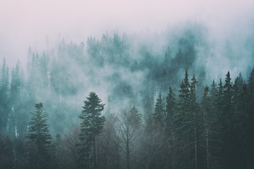 Misty carpathian spruce forest at early spring