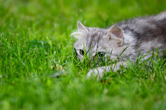 grey fluffy silly face cat hunting in grass chasing toy