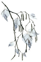 Birch tree branch